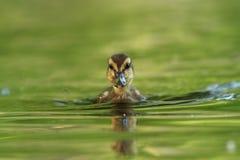 anas πάπια που φαίνεται platyrhynchos που στέκονται το ύδωρ εσείς Η άγρια φύση της Δημοκρατίας της Τσεχίας στοκ φωτογραφίες