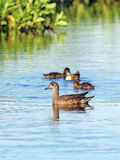 Anas acuta. A duck with a brood on the lake Royalty Free Stock Photos