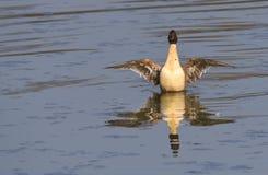 Anas acuta on the lake Royalty Free Stock Photos