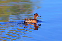 Anas acuta. Northern Pintail Royalty Free Stock Image