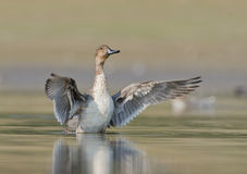Anas acuta Pintail Royalty Free Stock Photo