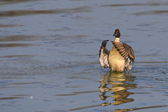 Anas acuta stops on the lake. With folded wings Stock Photography