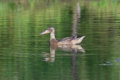 Anas clypeata. A female of wild duck on Yamal Royalty Free Stock Photo