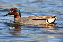 Anas crecca, Common Teal. Royalty Free Stock Images