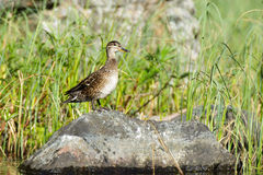Anas crecca, Common Teal. Royalty Free Stock Photo