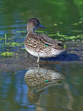 Anas crecca. Female of a teal close up. Anas crecca. The duck teal costs on a shallow in Siberia Stock Photography
