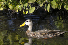 Anas fulvigula, mottled duck Royalty Free Stock Photography