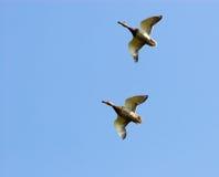 anas kaczki mallard platyrhynchus zdjęcia royalty free