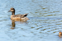 Anas penelope, Eurasian Wigeon. Stock Images