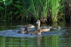 Anas penelope. Family wigeons forage in coastal thickets Royalty Free Stock Images