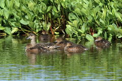 Anas penelope. The female and ducklings Wigeon swim among the th Stock Images