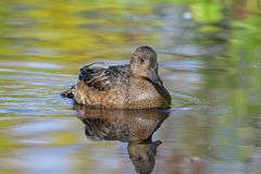 Anas penelope. The female Wigeon closeup on the Yamal Peninsula Stock Photography