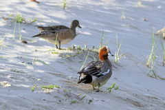 Anas penelope. Male and female in the morning on the waterfront. Anas penelope. Male and female Wigeon on the sandy shore of a lake in Siberia Stock Photography