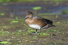 Anas penelope. Wigeon close up in the summer on the Yamal Penins Royalty Free Stock Photography