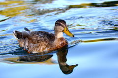 Anas platyrhynchos. Young duck (anas platyrhynchos) swimming in the clear water Royalty Free Stock Photography