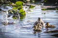 Ενήλικοι θηλυκοί πάπια και νεοσσοί πρασινολαιμών (Anas platyrhynchos) Στοκ φωτογραφία με δικαίωμα ελεύθερης χρήσης