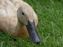 Anas platyrhynchos domesticus - Indian Runner duck, sat on grass. Pale brown in colour royalty free stock photos