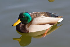 Anas platyrhynchos duck Stock Images