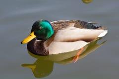 Anas platyrhynchos duck. Mallard or Wild Duck (Anas platyrhynchos) swimming Stock Images