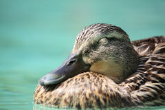 Anas Platyrhynchos – Duck Sleeping Royalty Free Stock Image