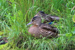 Anas platyrhynchos. Female Mallard closeup in Siberia Stock Image