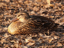 Anas platyrhynchos (germano reale). Female specimen of Anas platyrhynchos (Mallard), married on a bed of dry leaves Royalty Free Stock Image