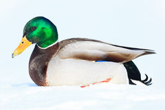 Anas platyrhynchos, Mallard. Stock Photo