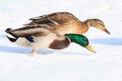 Anas platyrhynchos, Mallard. Royalty Free Stock Photography