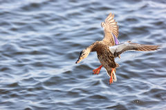 Anas platyrhynchos, Mallard. Royalty Free Stock Photos