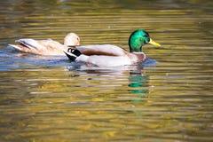 Anas platyrhynchos - Mallard duck royalty free stock photos