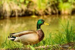 Anas platyrhynchos, Mallard duck in a natural environment on the banks of the water. Poland, Anas platyrhynchos, Mallard duck in a natural environment on the stock image