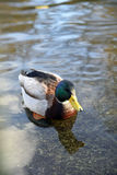 Anas platyrhynchos, Mallard, male duck swimming in the water Stock Photography