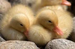 Newborn ducklings near a pond. Anas platyrhynchos, Normal wild duck in the pond at `Knyaz Boris` Park, Sofia, Bulgaria Stock Photos
