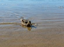 Anas platyrhynchos in water. Anas platyrhynchos in pond water Stock Image