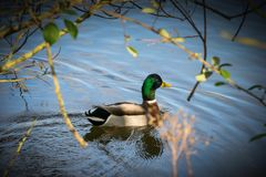 Anas platyrhynchos ,solitary male mallard duck swimming between the tress in Ryton pools, UK. Anas platyrhynchos ,solitary male mallard duck swimming between Royalty Free Stock Image