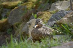 Anas platyrhynchos, A wild duck sits on a moss-covered stone. Anas platyrhynchos, A wild duck sits on a moss-covered stone Royalty Free Stock Images