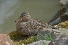 Anas platyrhynchos. A wild duck sits on a moss-covered stone. Anas platyrhynchos. A wild duck sits on a moss-covered stone Royalty Free Stock Photo