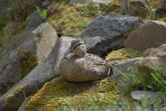 Anas platyrhynchos, A wild duck sits on a moss-covered stone. Anas platyrhynchos, A wild duck sits on a moss-covered stone Royalty Free Stock Photo