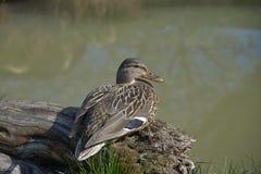 Anas platyrhynchos. Wild duck sitting on wood near pond.  Royalty Free Stock Photos