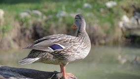 Anas platyrhynchos. Wild duck stands on wood near pond stock footage