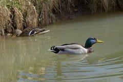 Anas platyrhynchos, wild ducks floating on the pond. Anas platyrhynchos, wild ducks floating on the pond Royalty Free Stock Image