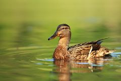 Anas platyrhynchos. Wild nature of Czech. Bird on water. A beautiful picture of nature. Anas platyrhynchos. The wild nature of the Czech Republic. Spring in Stock Images