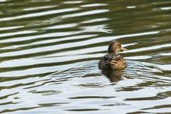 Anas Strepera, female Gadwall duck swimming in lake water of Ryton pools, UK. Royalty Free Stock Photos