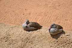 Anas undulata ducks sitting. Two ducks (anas undulata) siting on the sand Royalty Free Stock Images
