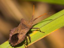 Anasa tristis (Squash Bug) Stock Photos