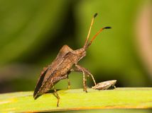 Anasa tristis (Squash Bug) Royalty Free Stock Photography