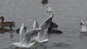 Anasplatyrhynchos för lös and på Blacket Sea, Ukraina arkivfilmer