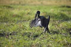 Anastomus lamelligerus, African openbill, in Chobe National Park, Botswana Royalty Free Stock Photos