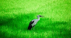 Anastomus oscitans or Asian Openbill local bird walking around the rice fields and watching for food, shell food. Local bird,Anastomus oscitans or Asian stock photography