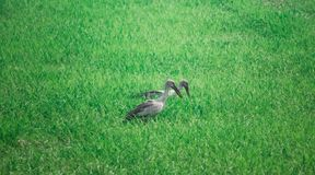Anastomus oscitans or Asian Openbill stork bird living in organic rice fields and looking for shell food. royalty free stock photo